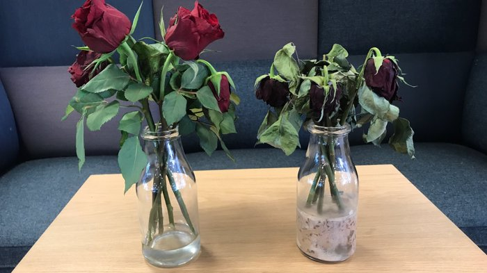 Rose protein
